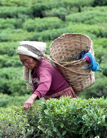 Darjeeling tealeaves being picked by hand