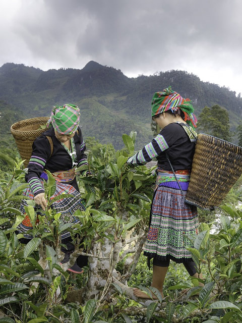 tea workers picking
